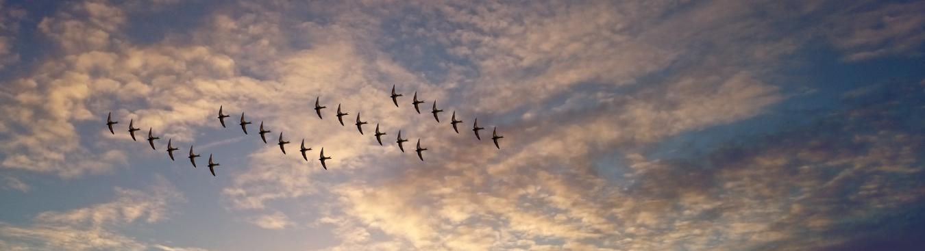 Billede af en fugleflok